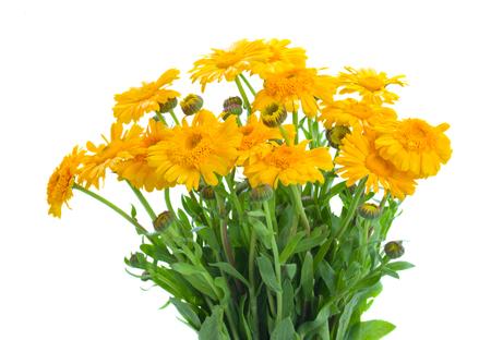 yellow: Yellow calendula flowers isolated on white background