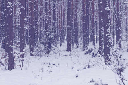 cold  winter forest with snow on trees and gound photo