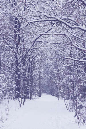 empty path in white  snowed winter forest photo
