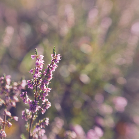 heather flowers on a meadow, shallow focus photo