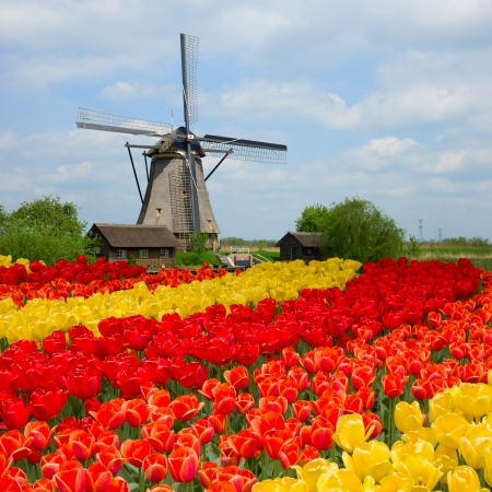 holland windmill: dutch windmill over rows of tulips field , Holland Stock Photo