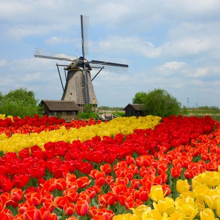 Holenderski wiatrak nad rzędami pola tulipanów w Holandii
