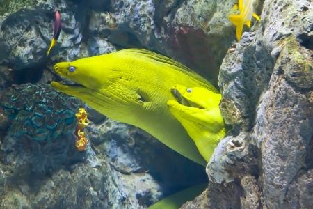 moray: yellow  moray fish in coral reef close-up