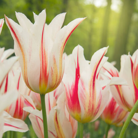spring dutch white and pink  tulips close up photo