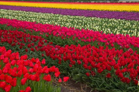 Stripes of multicolored  dutch tulips close up photo
