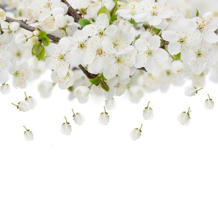 apple blossom: Blossoming plum flowers against white background Stock Photo
