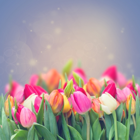 spring tulips in garden on violet toned  background photo