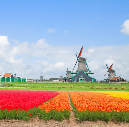 dutch windmills over tulip rows of flowers  in sunny day, Holland photo