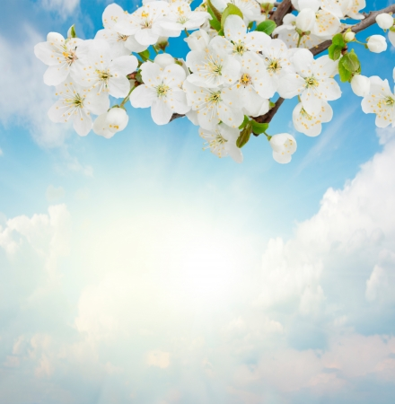 Blossoming plum flowers on sunny blue sky background photo