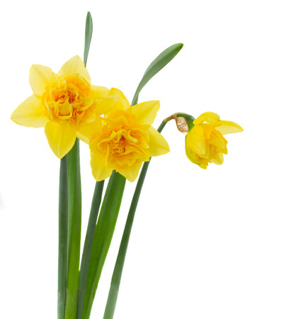 three yellow daffodils isolated on white background photo
