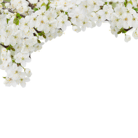 Blossoming plum flowers against white background photo