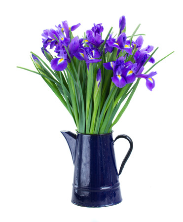 blue  irisesin flower pot   isolated on white background photo