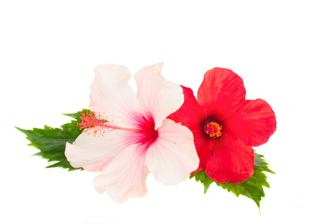 pink and red hibiscus flowesr isolated on white background photo