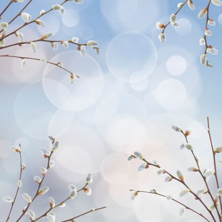 pussy tree: willow twigs with catkins frame on blue background Stock Photo