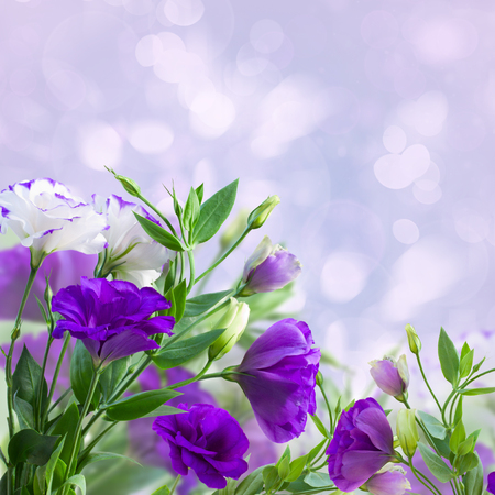 Purple eustoma flowers on blue bokeh background photo
