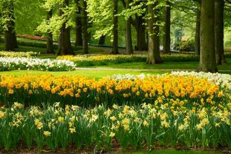 grass lawn with yellow daffodils  in dutch garden Keukenhof, Holland photo