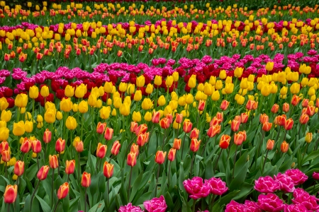 Stripes of multicolored   tulips flowerbed close up photo
