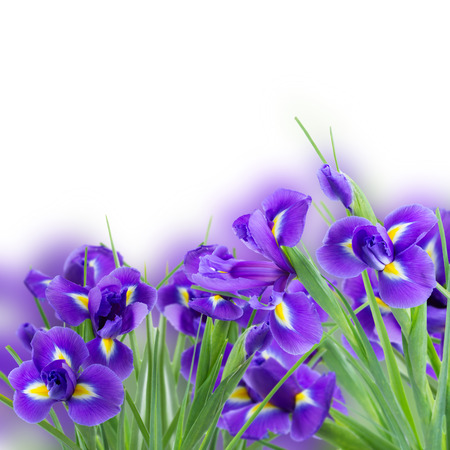 fresh blue  irises flowers   isolated on white  photo