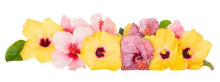 border of colorful  hibiscus flowers isolated on white  photo