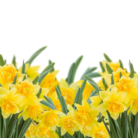 spring yellow narcissus in garden isolated on white background photo