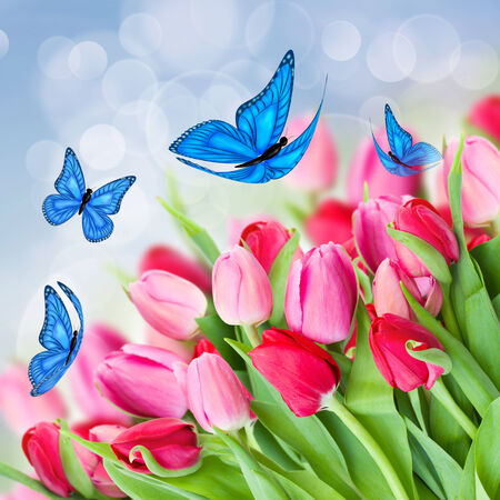 pack of fresh  pink  tulips with blue butterflies photo
