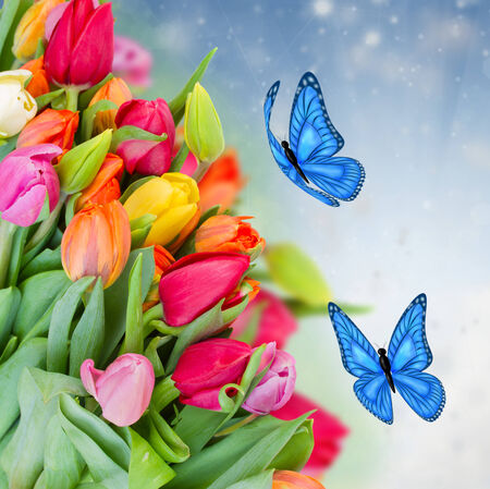 pack of fresh   tulips with blue butterflies photo