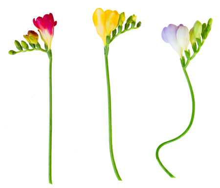 twigs of fresh  freesias flowers  isolated on white background photo
