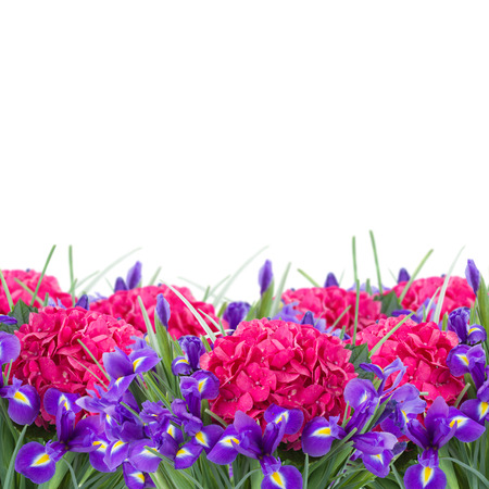 fresh pink hortensia and violet irise  flowers  border  isolated on white background photo