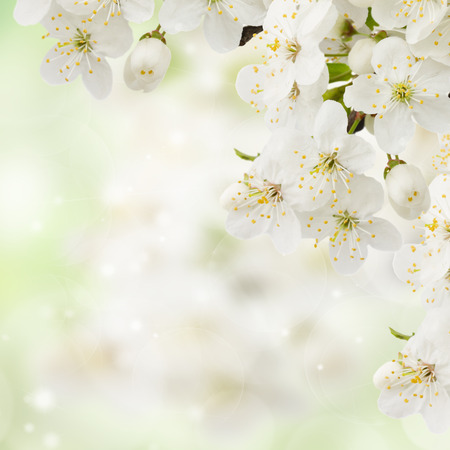 Blossoming plum   flowers on green garden background Stock Photo