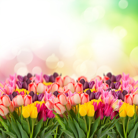 flower border pink: spring multicolored tulips on colorful bokeh   background