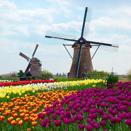 twee Nederlandse windmolens over rijen van tulpen veld, Nederland Stockfoto