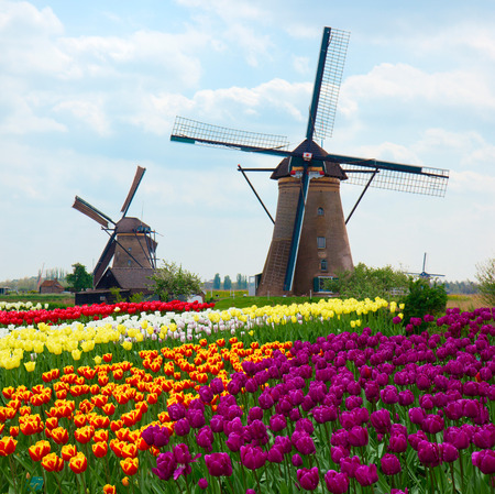 two dutch windmills over rows of tulips field , Netherlands