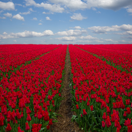 Famouse dutch red  tulip field with rows under blue sky photo