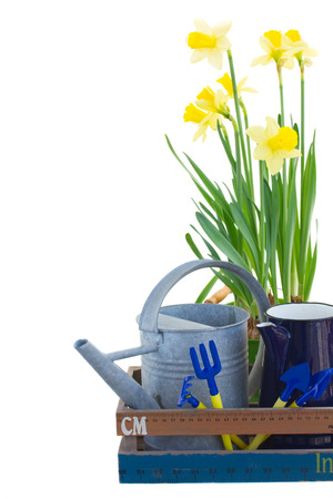 Gardening tools with yellow daffodils isolated on white background photo