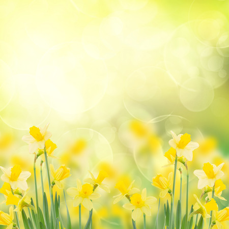 daffodils: spring growing daffodils in garden  isolated on white background Stock Photo