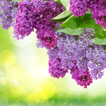 Lilac flowers tree on green defocused background photo