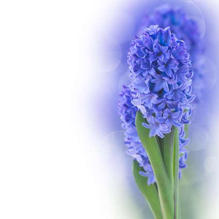 blue  hyacinth flowers  on white background