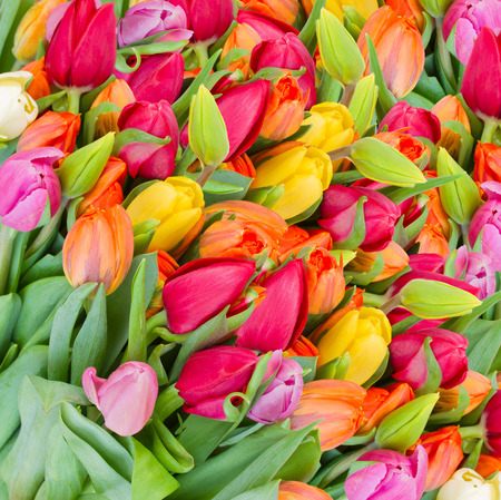 Fresh  spring colorful  tulip flowers photo