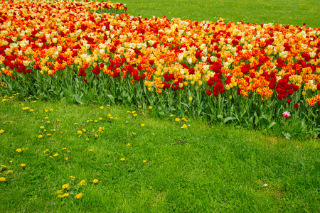 spring tulips lawn close up in  Saski park in Warsaw, Poland photo