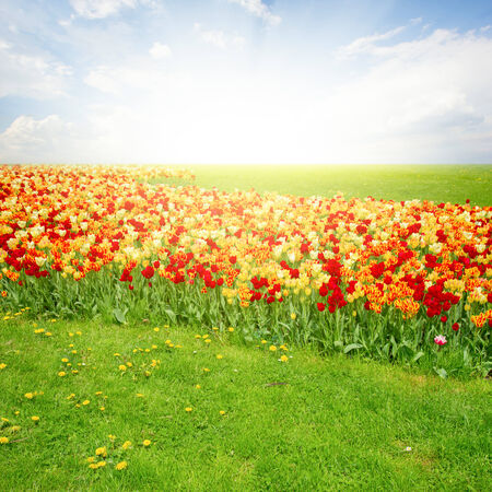 spring green lawn with tulips in sunny day photo