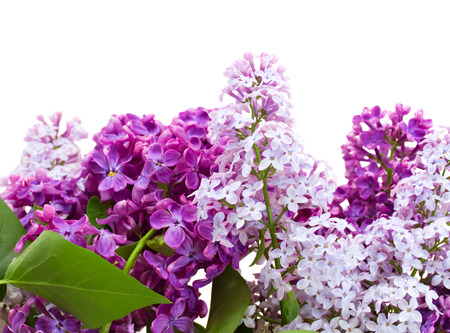 Border of fresh   lilac flowers isolated on white background