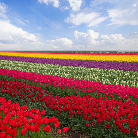 spring colorful stripes of  tulips in sunny day photo