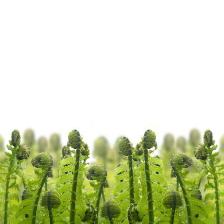 ferm: border of green ferm sprouts isolated on white background