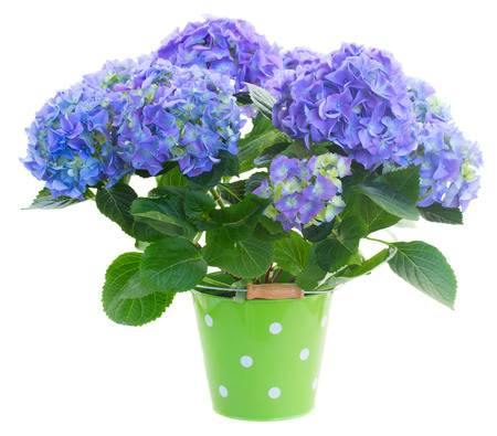 blue hortensia flowersin green pot   isolated on white background photo