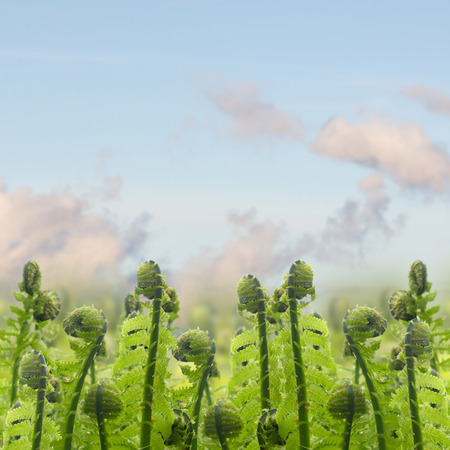 ferm: border of green ferm sprouts under blue sky  in garden