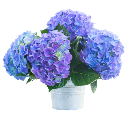 posy   of blue hortensia flowers in metal pot  isolated on white background photo