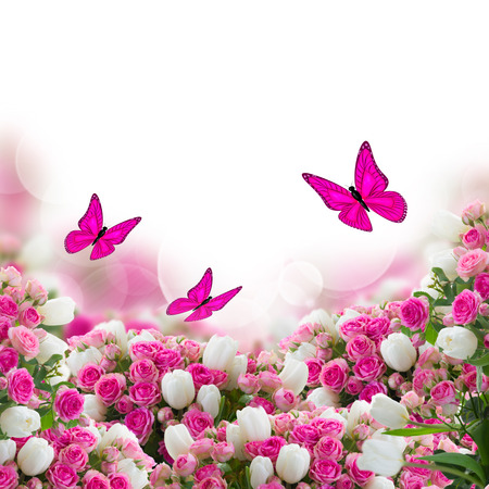 garden wiht fresh pink roses and white tulips flowers and butterflies  on white background photo