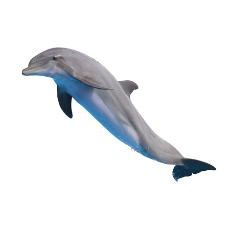 one jumping dolphin isolated on white background photo