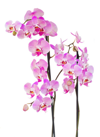 pink fresh  orchid branch with flowers and buds isolated on white background Фото со стока