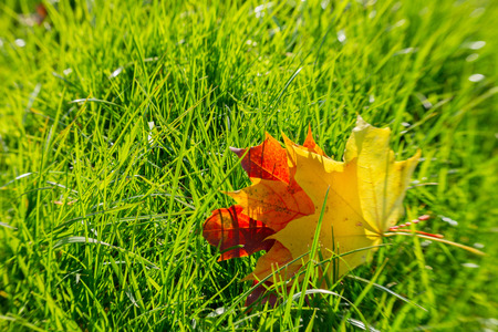 yellow and red fall maple  leaves on fresh green grass photo